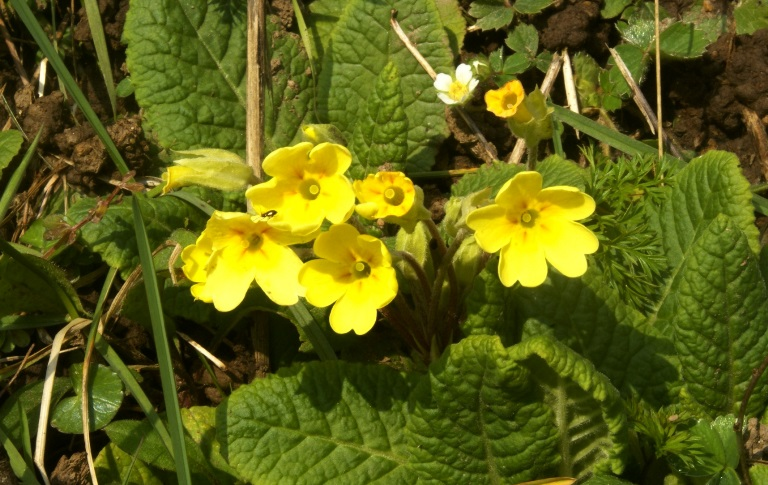 Primroses at Eco-Gites of Lenault, a holiday rental in Normandy