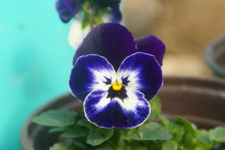 Viola in flower in the polytunnel at Eco-Gites of Lenault