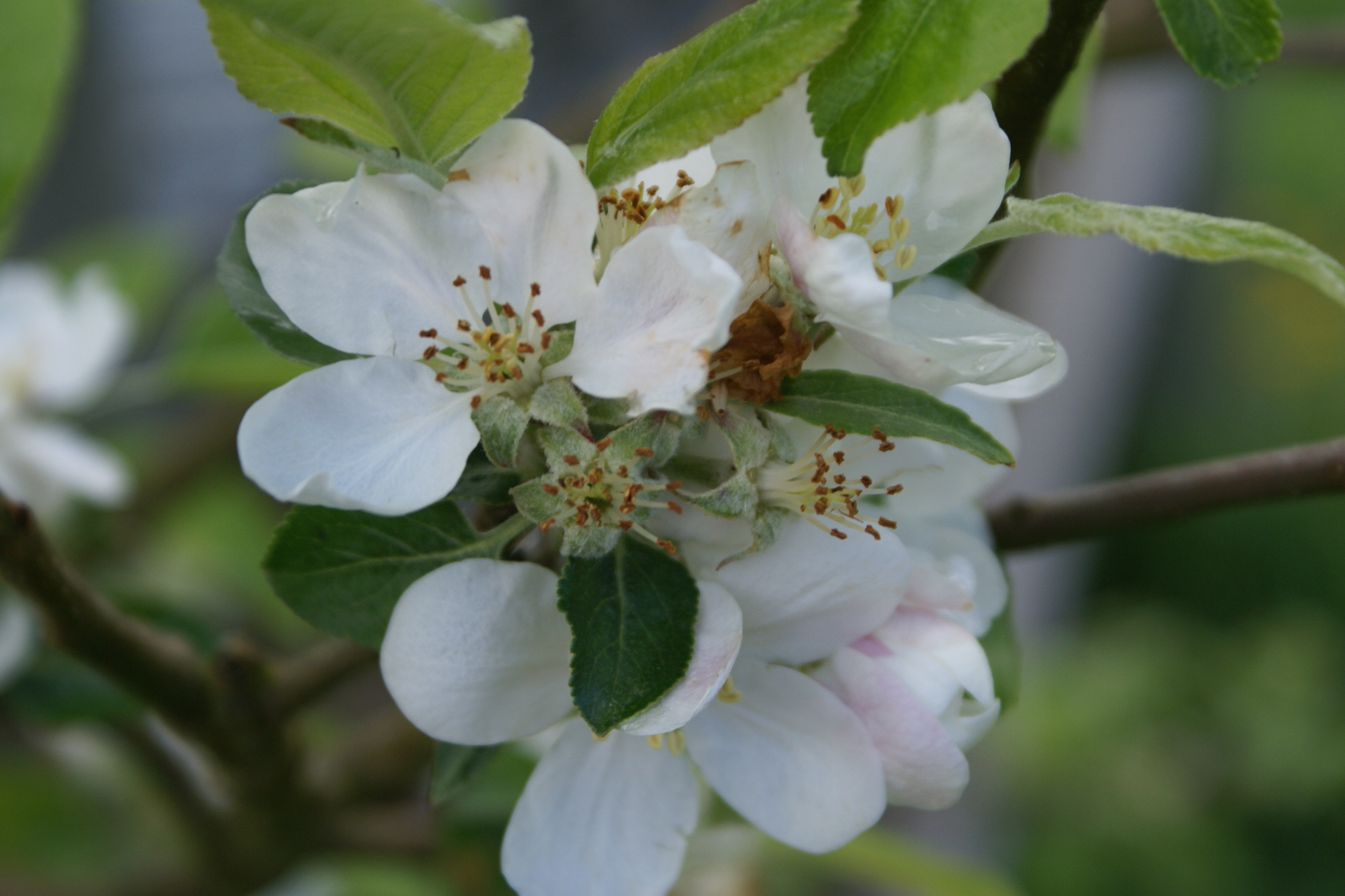 Apple blossom at Eco-Gites of Lenault, a 5 person gite in Normandy.