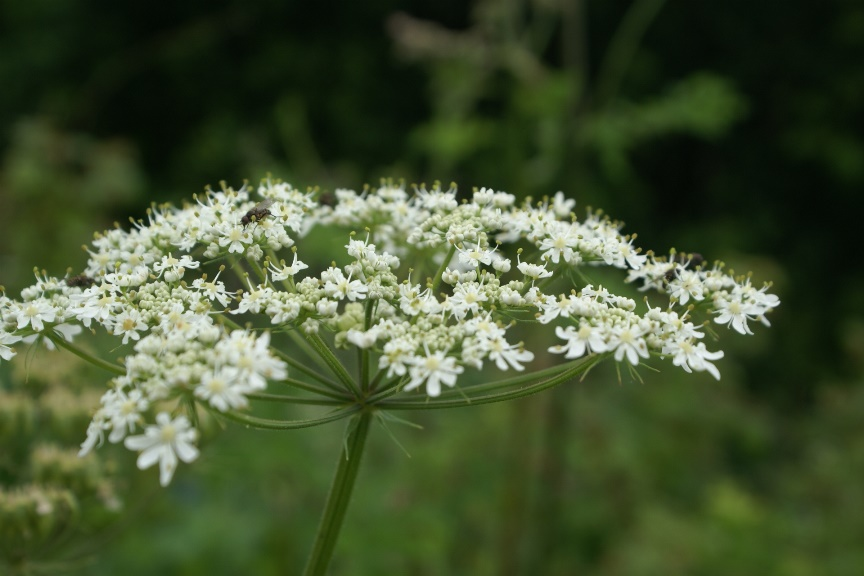 Umbellifer in the garden at Eco-Gites of Lenault, a holiday cottage in Normandy, Frace
