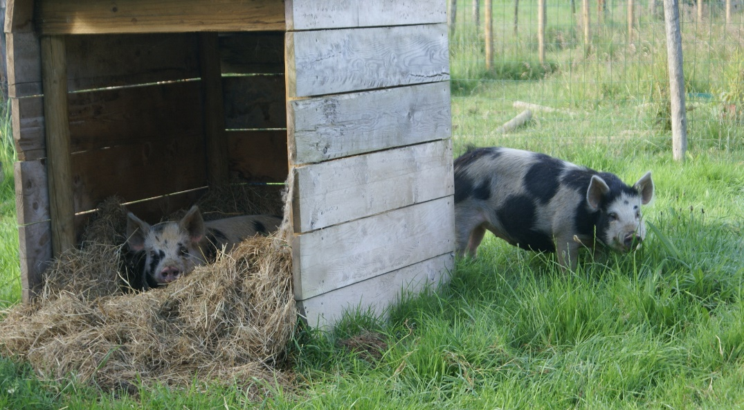 Naughty piglets at Eco-Gites of Lenault, a holiday cottage in Normandy