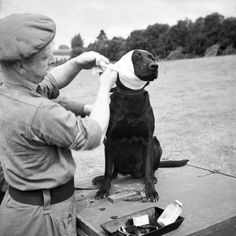 "Jasper, a dog""soldier"" recieving medical treatment in Normandy, 1944"