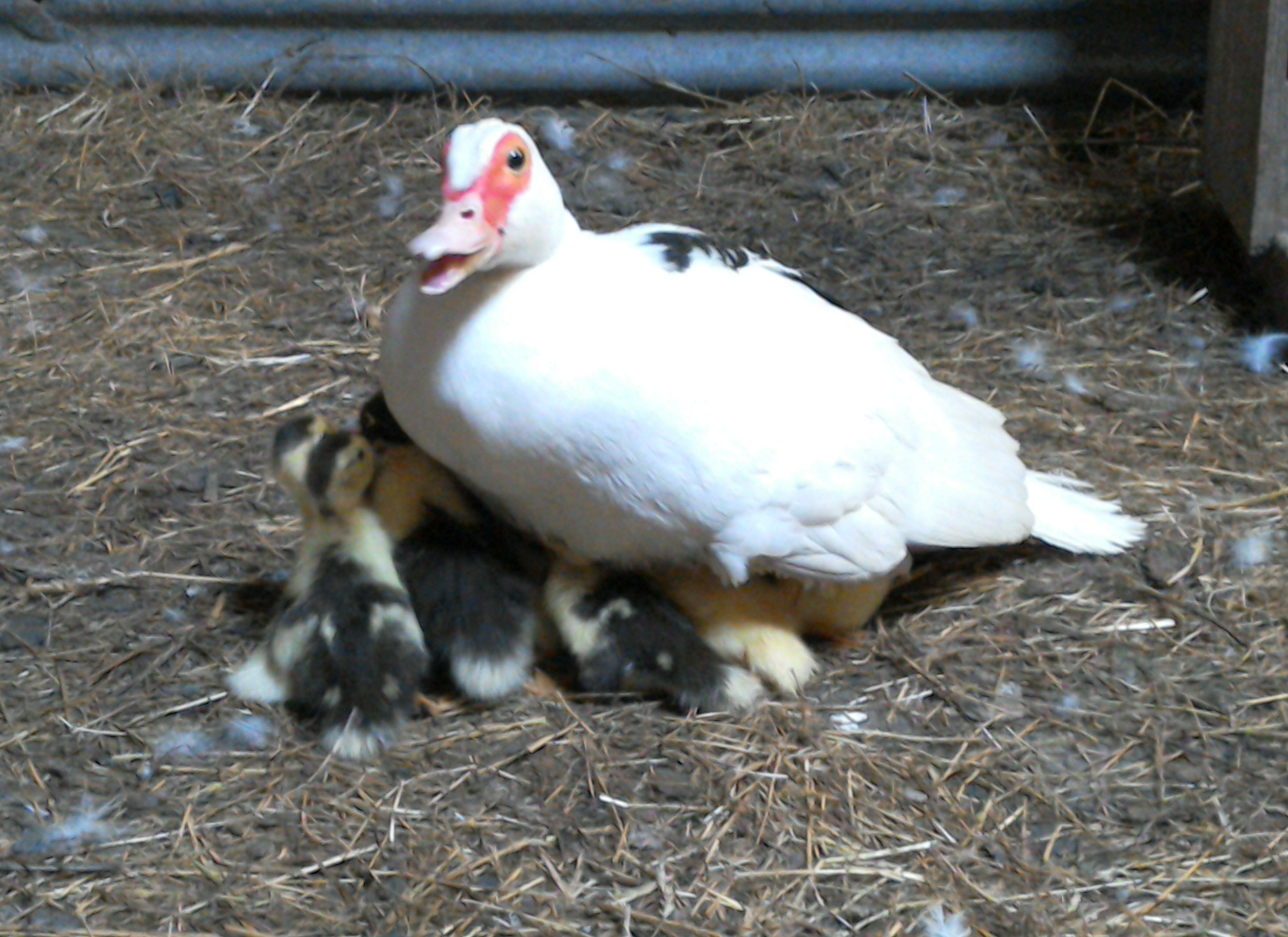 Ducklings with Mum at Eco-Gites of Lenault in Normandy