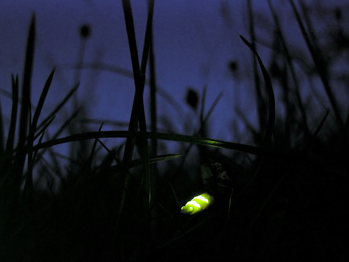 GlBy Timo Newton-Syms from Chalfont St Giles, Bucks, UK (Glow worm) [CC BY-SA 2.0 (http://creativecommons.org/licenses/by-sa/2.0)], via Wikimedia Commonsow worm