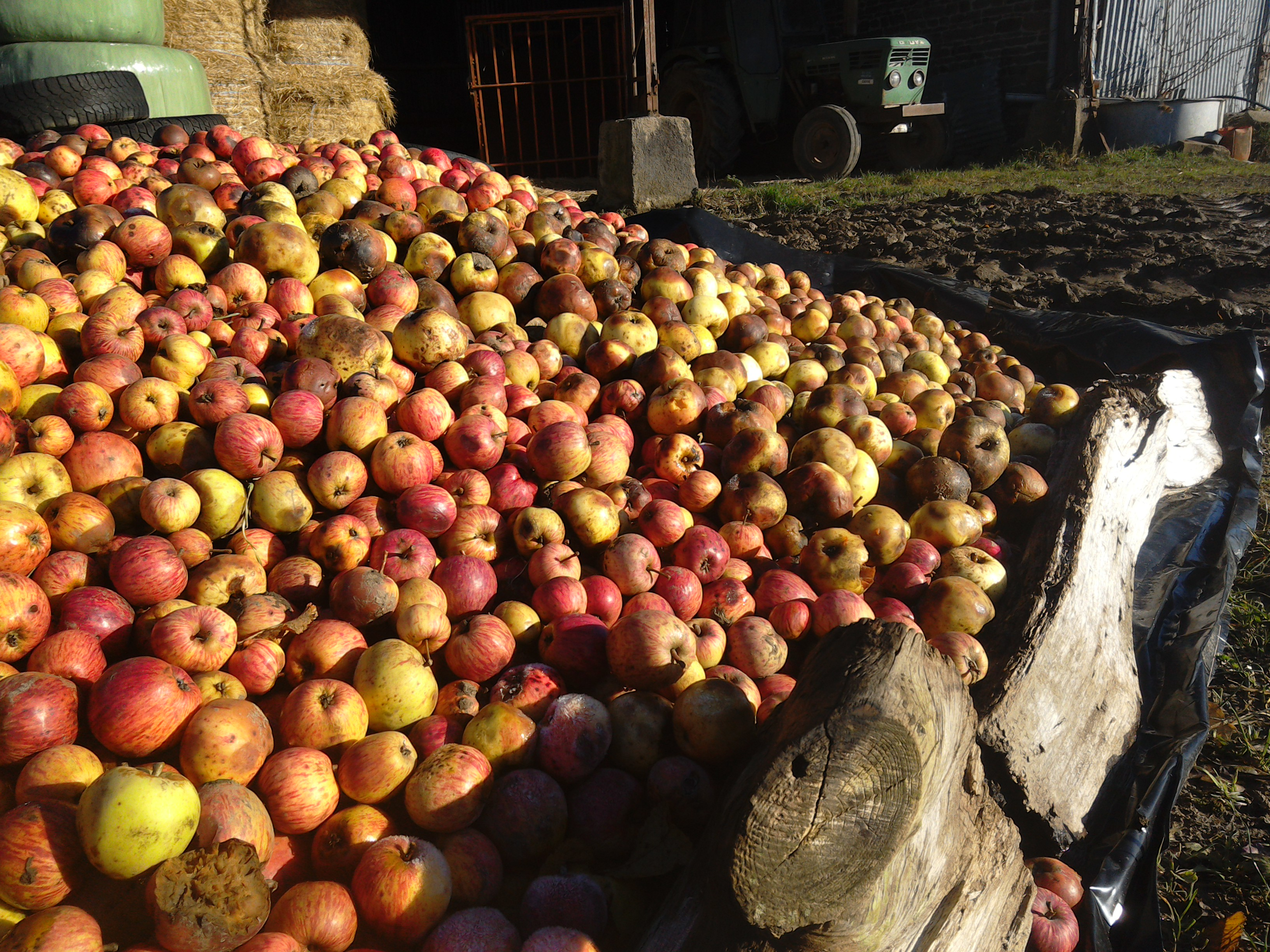 Cider apples, Normandy