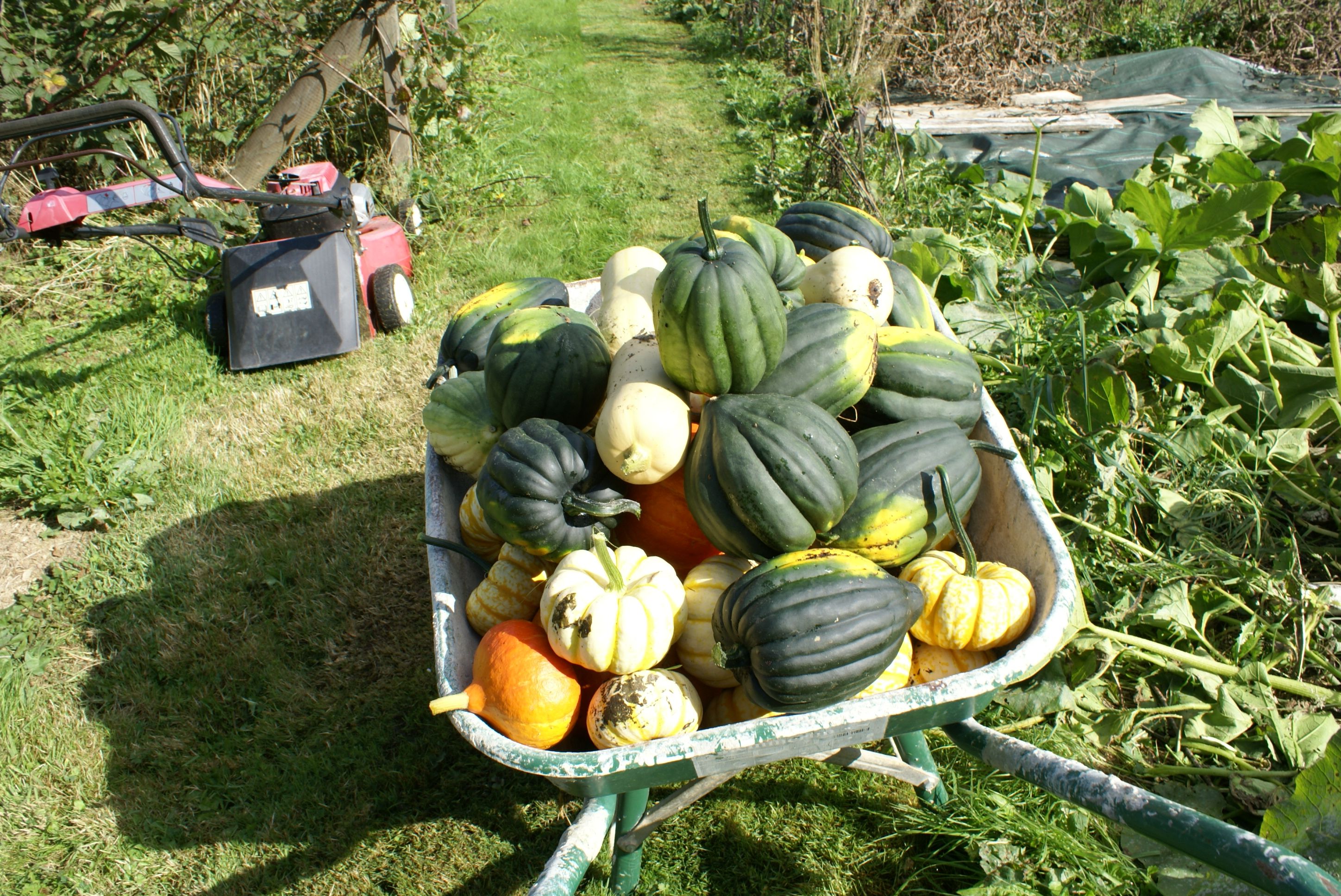 Pumpkin harvest at Eco-Gites of Lenault, Normandy