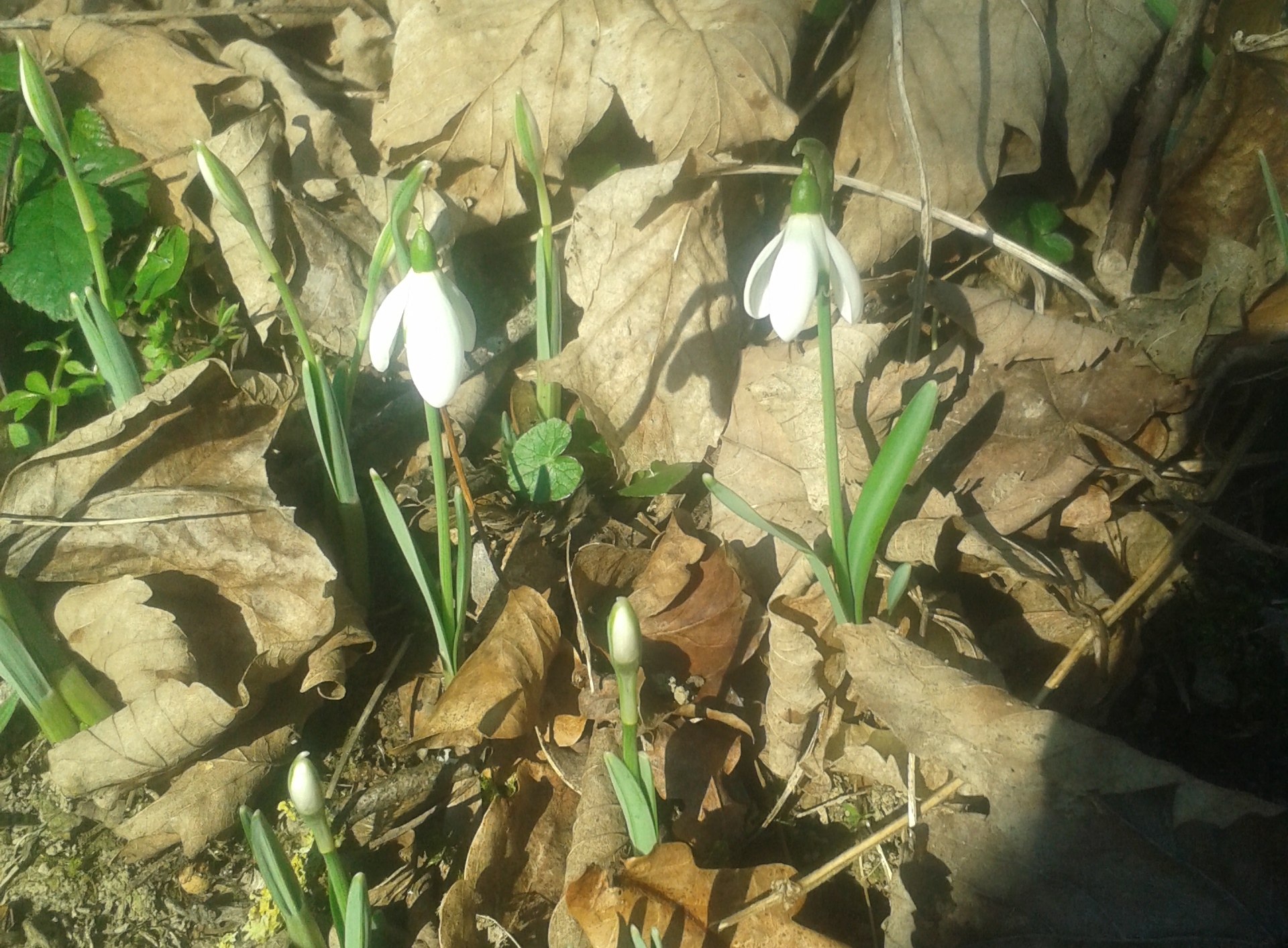 Snowdrops near Eco-Gites of Lenault, a holiday home in Normandy