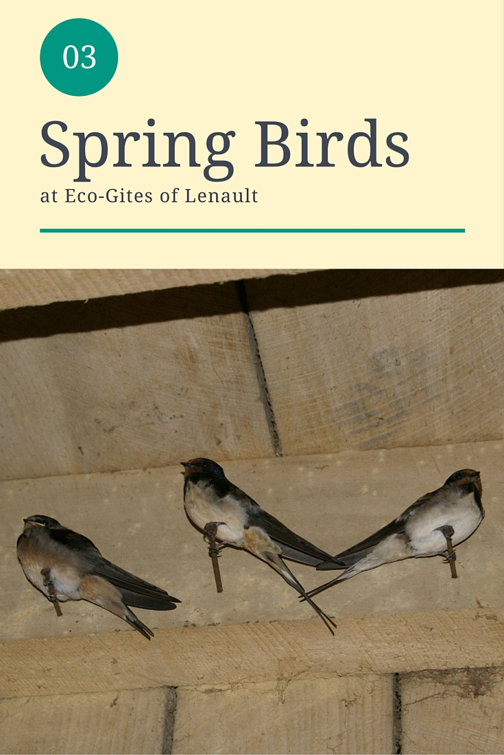 Spring birds at Eco-Gites of Lenault, Normandy