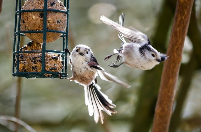 Long tailed tits on a bird feeder