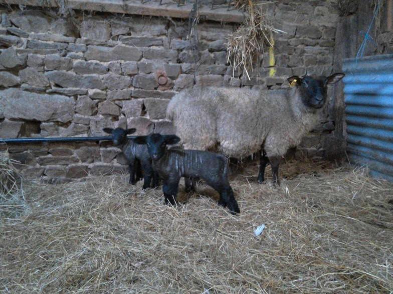 Lambs at Eco-Gites of Lenault in Normandy