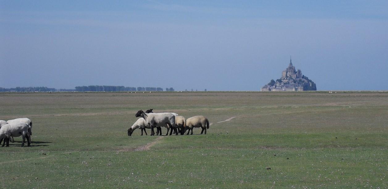 Ssalt march sheep at Mont Saint Michel. Normandy, France