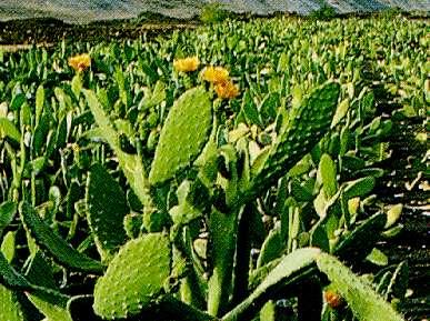 Tunera Cactus