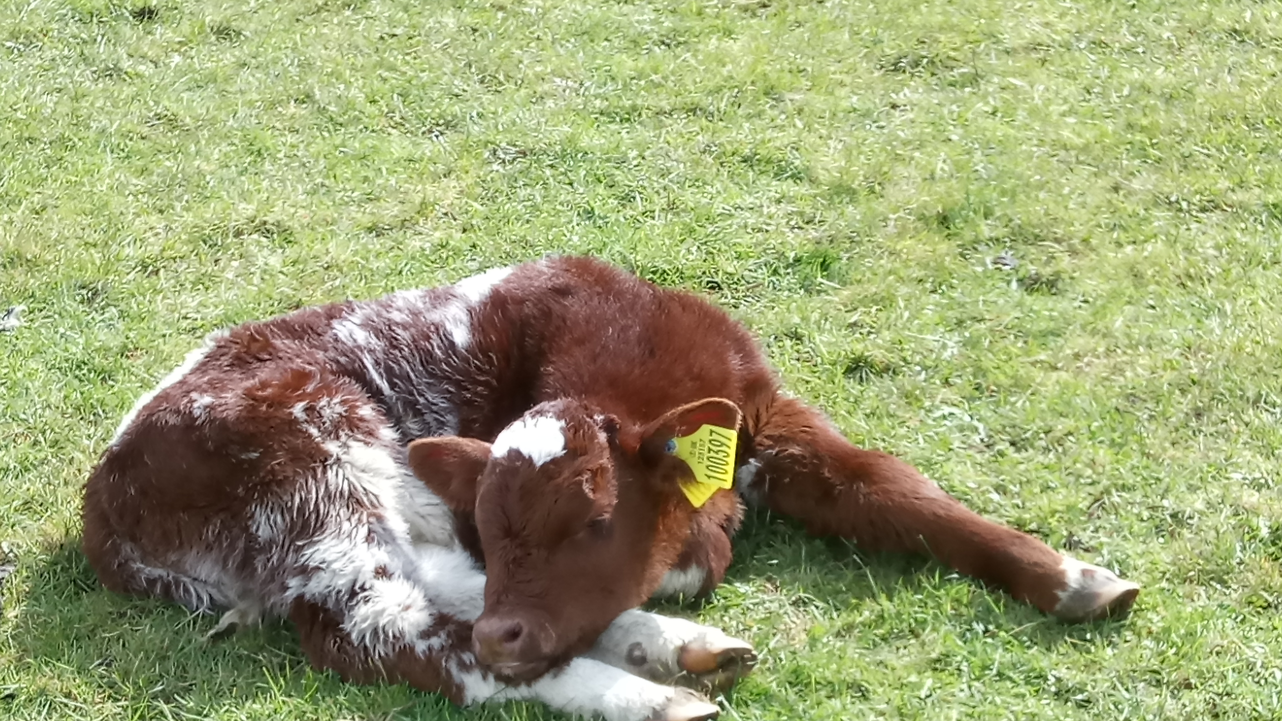 Megan's calf 2019