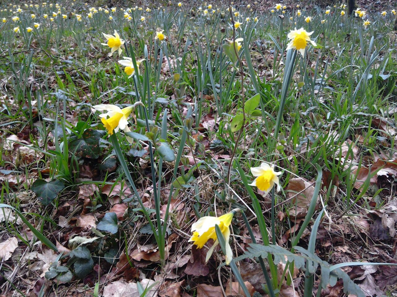 Wild daffodils in the Cresme Valley, Calvados, Normandy