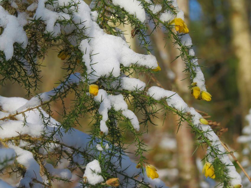 Fleurs d'ajoncs dans la neige