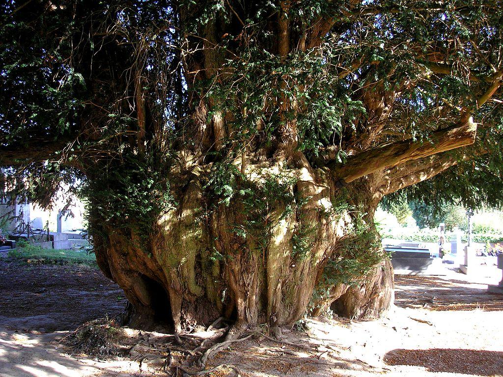The Estry Yew, Ca;vados, Normandy