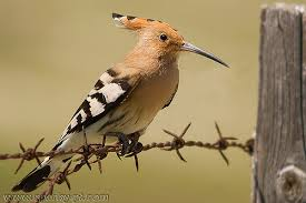 Hoopoe and occasional visito to the gardens of Villa Vida Nova private villa for rent