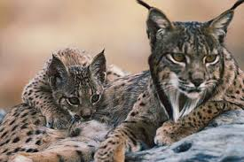 Iberian Lynx can be found in the hills of the Serrra da Monchique not too far from our Villa Rental