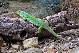 Ocellated Lizard found in the garden of this Algarve Holiday home